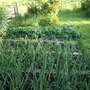 and onions....................straw berries in the background. Strawed and netted of course. I think they probably need water wings too.
