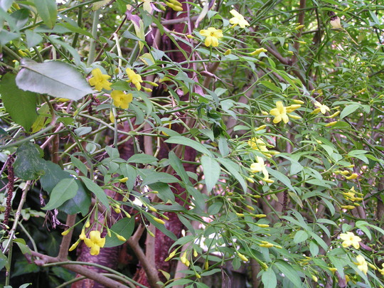 Jasminum humile revolutum  (Jasminum humile 'revolutum'(Yellow jasmine))