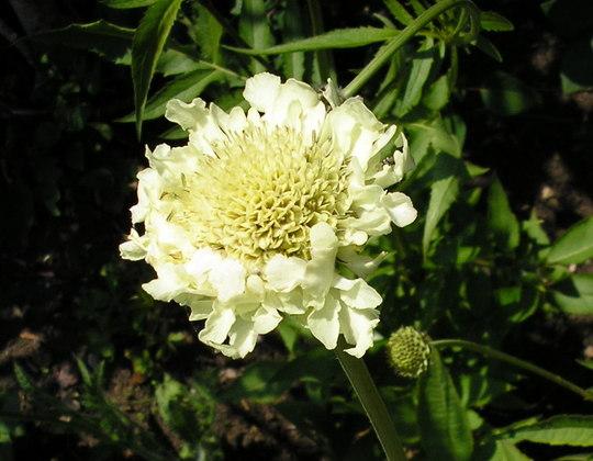 A garden flower photo (Scabiosa africana)