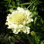 A garden flower photo (Scabiosa africana)