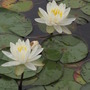 White Water Lilies in the swamp