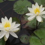 Another pic of White Water Lilies!