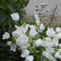 Campanula Canterbury Bells (White)