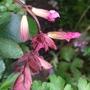Salvia 'Wendy's Wish' (Salvia)