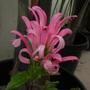 Justicia carnea - Brazilian Plume Flower (Justicia carnea - Brazilian Plume Flower)