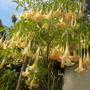 Brugmansia - Angel's Trumpets (Brugmansia - Angel's Trumpets)