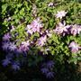 HF YOUNG CLEMATIS