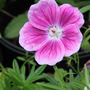 Geranium sanguineum &#x27;Elke&#x27; (Geranium sanguineum)