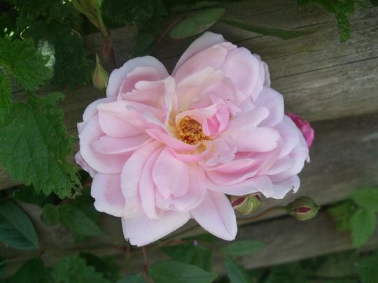 Rosa 'Mortimer Sackler' (Rosa)