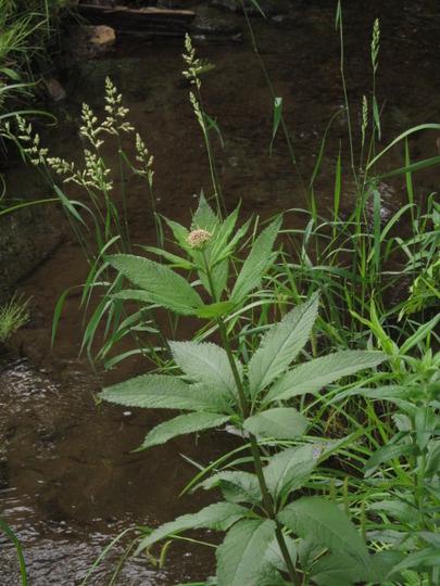Joe Pye Weed by the stream...