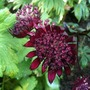Astrantia Major 'Ruby Star' (Astrantia Major Ruby Star)
