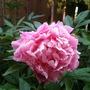 Pink_peony_in_side_garden