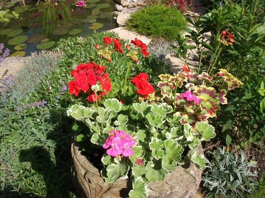 Pelargoniums ( geraniums) (Pelargoniums)