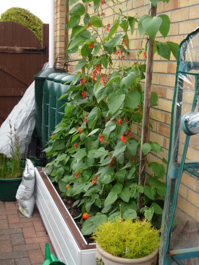 Runner Beans are coming on a treat!