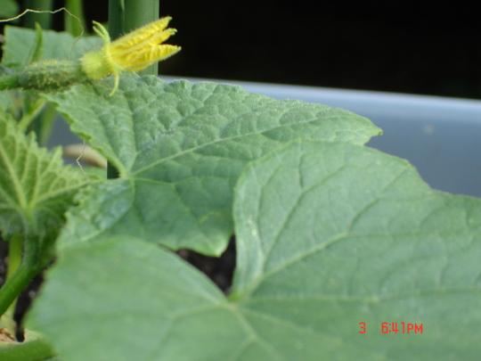 Baby Cucumber (Cucumis sativus (Cucumber))