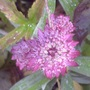 Astrantia_major_25_6_11_34_1