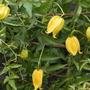Clematis tangutica 'Orange Peel' (Clematis tangutica (Clematis))