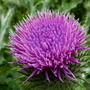 Scotch_thistle_from_dawn