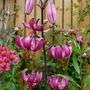 Lilium martagon (Lilium martagon (Common turkscap lily))