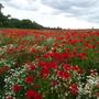 Poppy_field_2