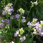 Polemonium_caeruleum_bambino_blue