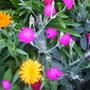Calendula and Vivid Pink plant!!