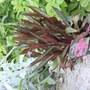 A garden flower photo (Ligularia dentata (Golden groundsel))