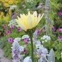 Shasta Daisy (Leucanthemum x superbum)  broadway lights (leucanthemum x superbum 'Broadway Lights')