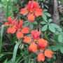 Tropaeolum speciosum - 2011 (Tropaeolum speciosum)