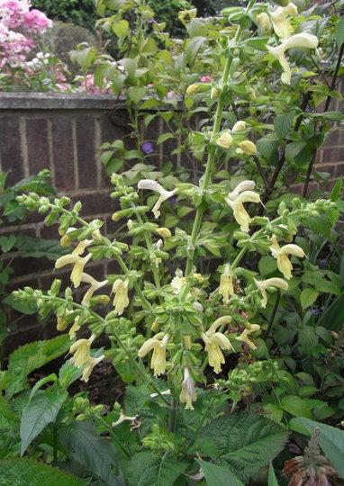 Salvia glutinosa - 2011 (Salvia glutinosa)