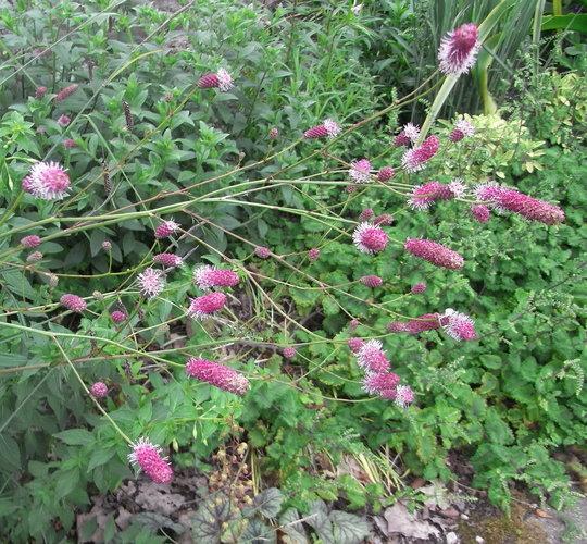 Sanguisorba officinalis - 2011 (Sanguisorba officinalis)