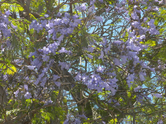 Jacaranda mimosifolia - Jacaranda Flowers (Jacaranda mimosifolia - Jacaranda Flowers)