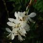 Gaura (Gaura lindheimeri (Gaura))