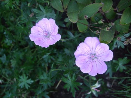 Geranium sanguineum 'Glenluce' (Geranium sanguineum)