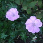 Geranium sanguineum &#x27;Glenluce&#x27; (Geranium sanguineum)