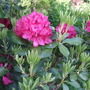 red rhodo new growth