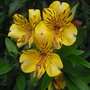 Alstroemeria_orange_glory_2011
