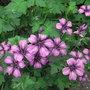 Geranium wlassovianum - 2011 (Geranium wlassovianum)