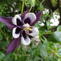 My Purple aquilegia