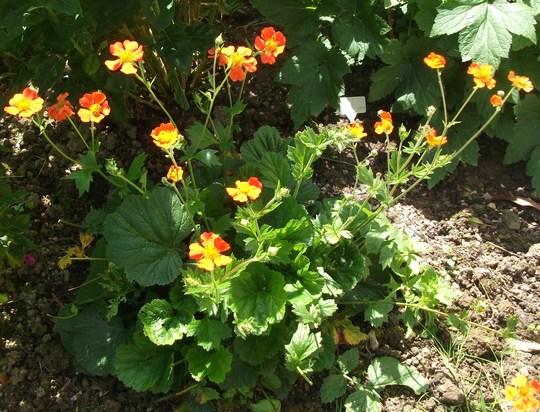 Geum borisii it just keeps on flowering  (Geum Borisii)
