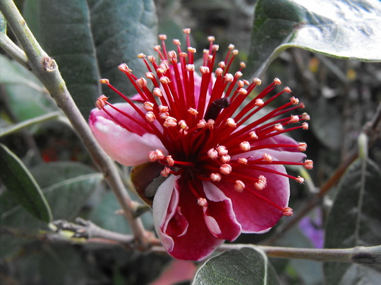 Feijoa Sellowiana.....(Pineapple Guava)