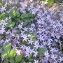 Stary flowers (Campanula carpatica (Bellflower))