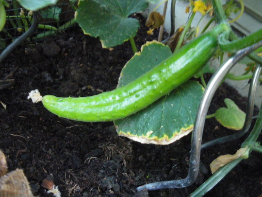 First young Cucumber