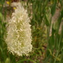 close up of bunny tail grass (Lagurus ovatus (Bunny Tails Grass))