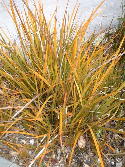 Mikoikoi  (Libertia peregrinans (New Zealand Iris))