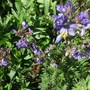 Polemonium Bressingham Purple - I have it in too much shade and the leaves are more green than purple this year (Polemonium caeruleum Bressingham Purple)
