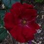 Rose_dublin_bay_