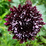 Scabiosa 'Chile Black '
