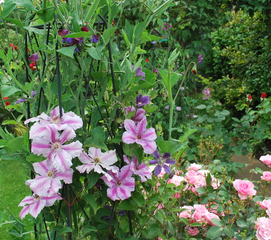 Clematis and sweet peas for Dawn.... (Clematis Carnaby.)