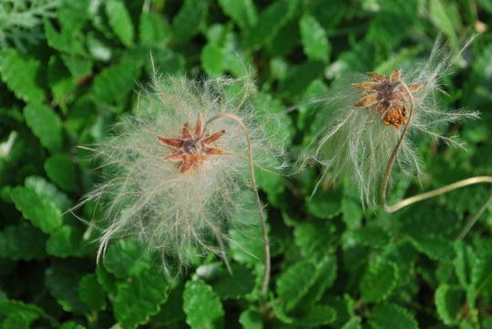 Dryas seed heads..... (Dryas octopetala (Mountain avens))